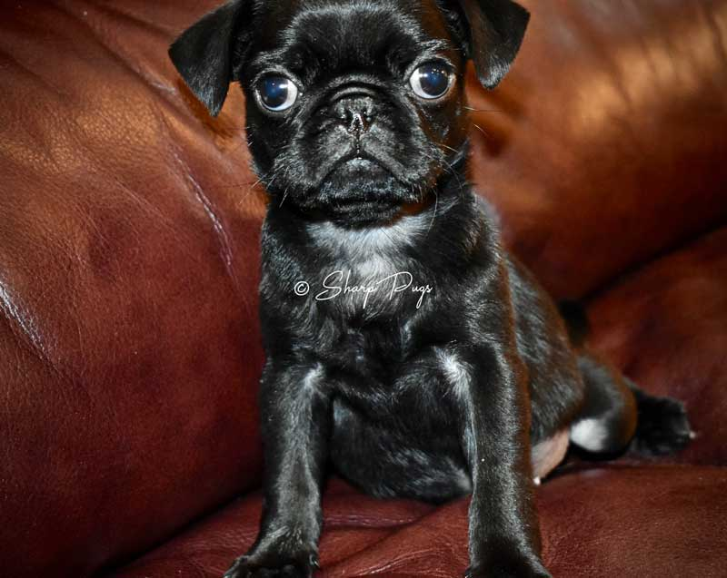 sharp-pugs-illinois-black-pug2