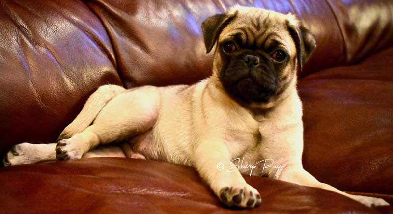 sharp-pugs-illinois-fawnpug1