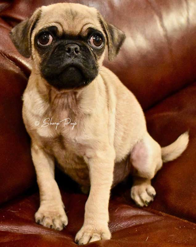 sharp-pugs-illinois-fawnpug5