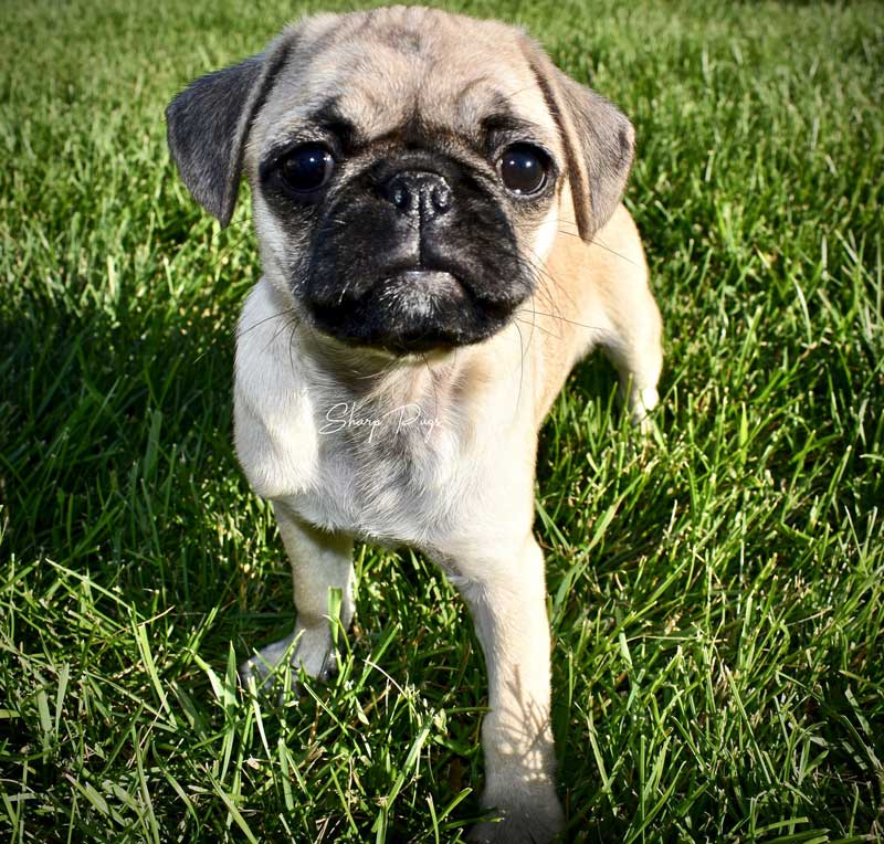 sharp-pugs-illinois-fawnpug8