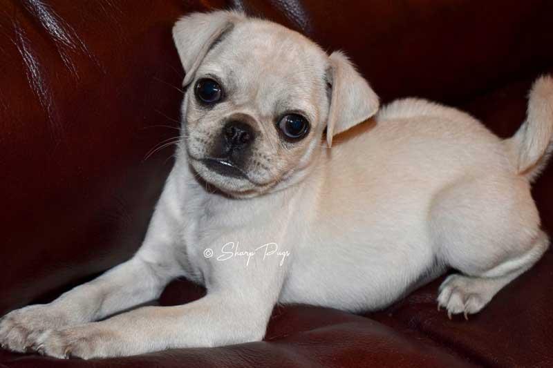 sharp-pugs-illinois-white-pug4