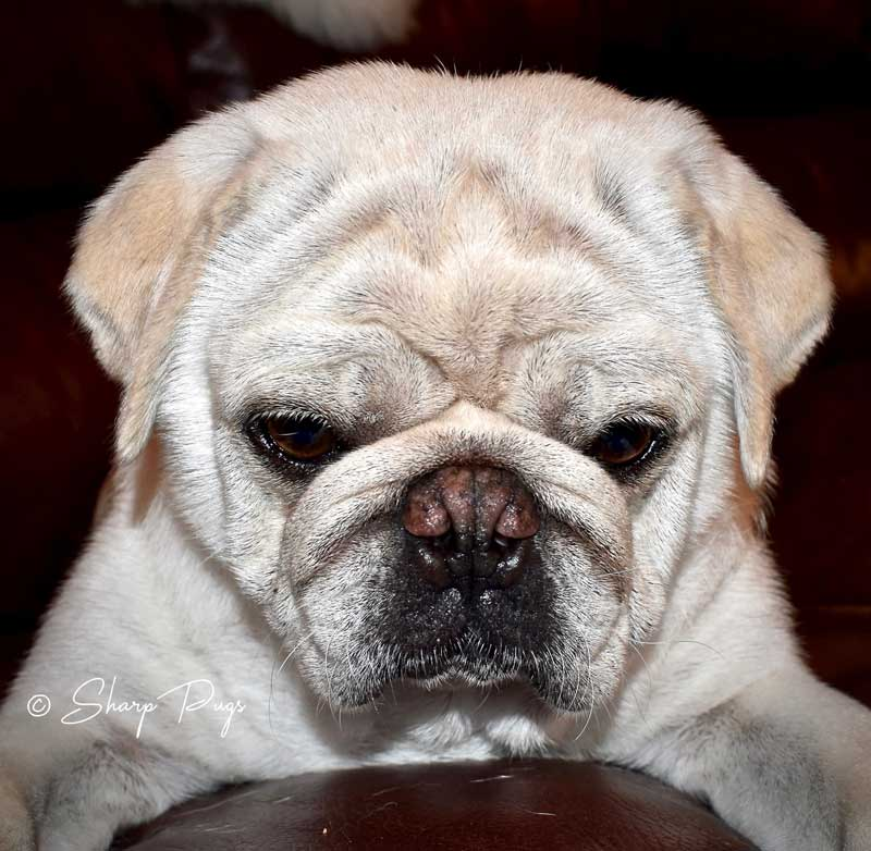 sharp-pugs-illinois-white-pug6