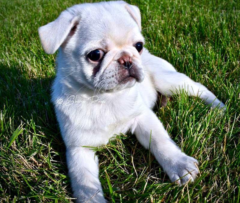sharp-pugs-illinois-white-pug8
